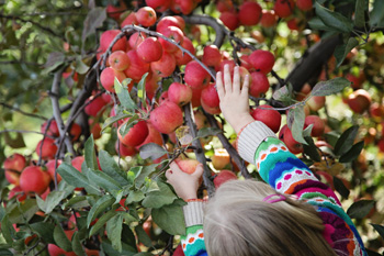 Girl picking Gala apple